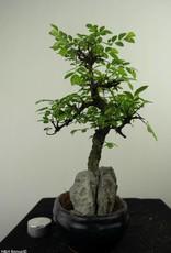 Bonsai Olmo cinese con roccia, Ulmus, no. 7332
