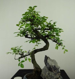 Bonsai Chinese Elm with rock, Ulmus, no. 7333