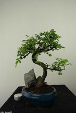 Bonsai Olmo cinese con roccia, Ulmus, no. 7333