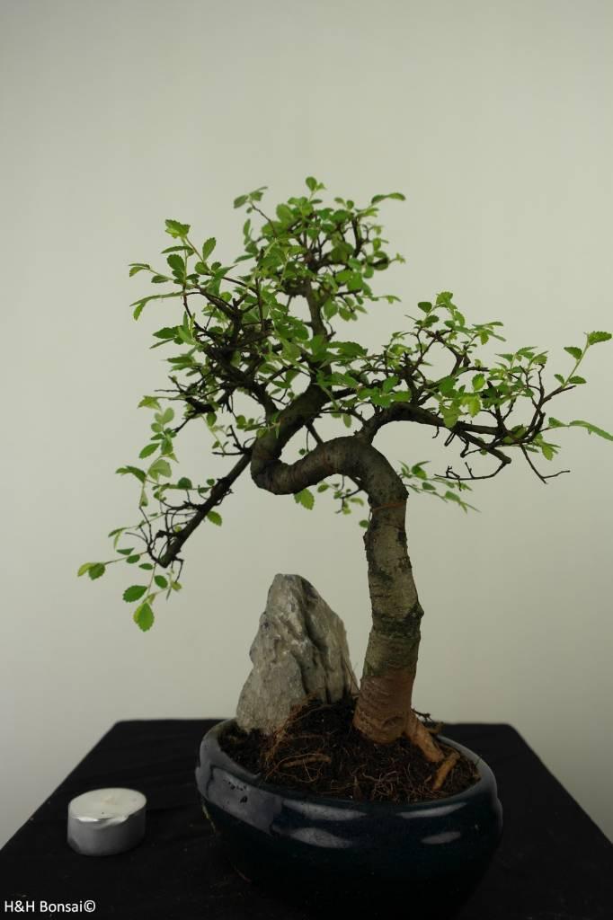 Bonsai Olmo cinese con roccia, Ulmus, no. 7334