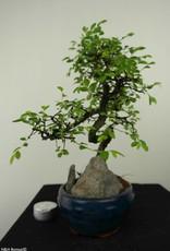 Bonsai Olmo cinese con roccia, Ulmus, no. 7335