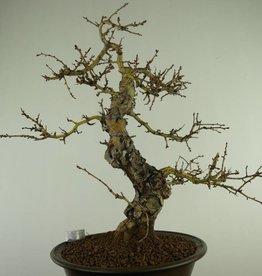 Bonsai Crataegus cuneata, no. 7352
