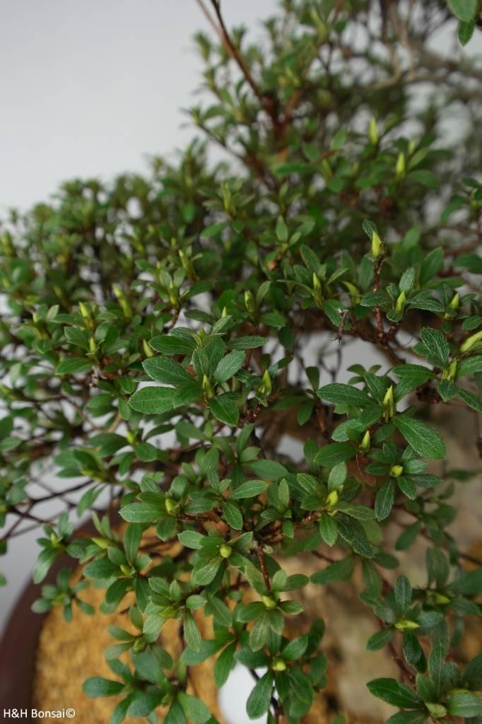 Bonsai Azalea Satsuki Shin Nikko, nr. 7353