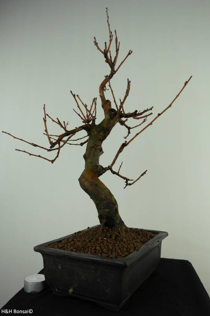 Bonsai Chin. Quitte, Pseudocydonia sinensis, no. 7369