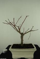 Bonsai Acero palmato, Acer palmatum Butterfly, no. 7376