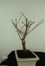 Bonsai Acero palmato, Acer palmatum Butterfly, no. 7378