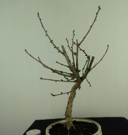Bonsai Golden Larch, Pseudolarix amabilis, no. 7396