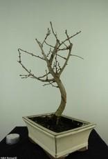 Bonsai Golden Larch, Pseudolarix amabilis, no. 7399