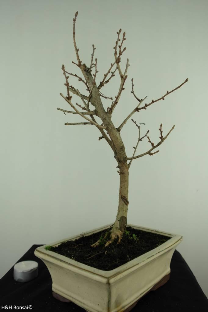Bonsai Golden Larch, Pseudolarix amabilis, no. 7400