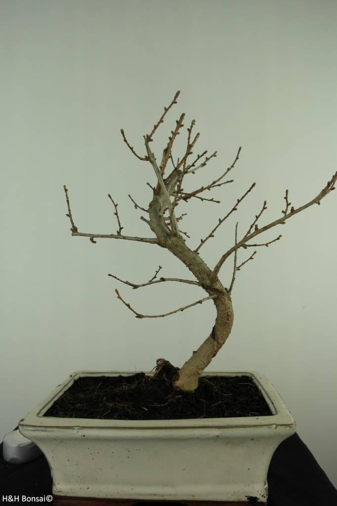 Bonsai Golden Larch, Pseudolarix amabilis, no. 7401