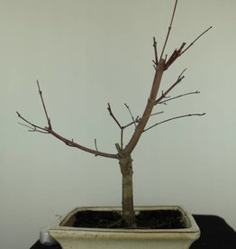 Bonsai Japanese Red Maple, Acer palmatum deshojo, no. 7407