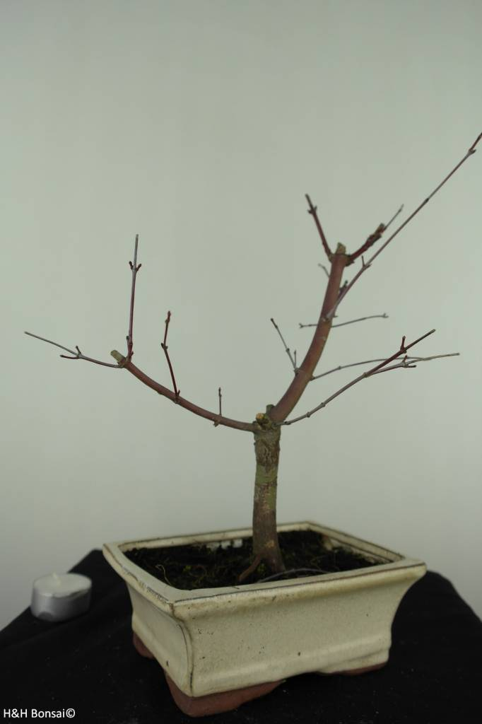Bonsai Japanese Red Maple, Acer palmatum deshojo, no. 7407