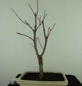 Bonsai Japanese Red Maple, Acer palmatum deshojo, no. 7409