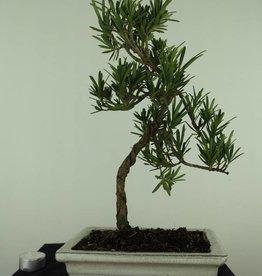 Bonsai di Podocarpo, Podocarpus, no. 7413