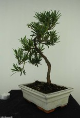 Bonsai Buddhist Pine, Podocarpus, no. 7413