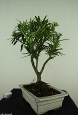 Bonsai Buddhist Pine, Podocarpus, no. 7415