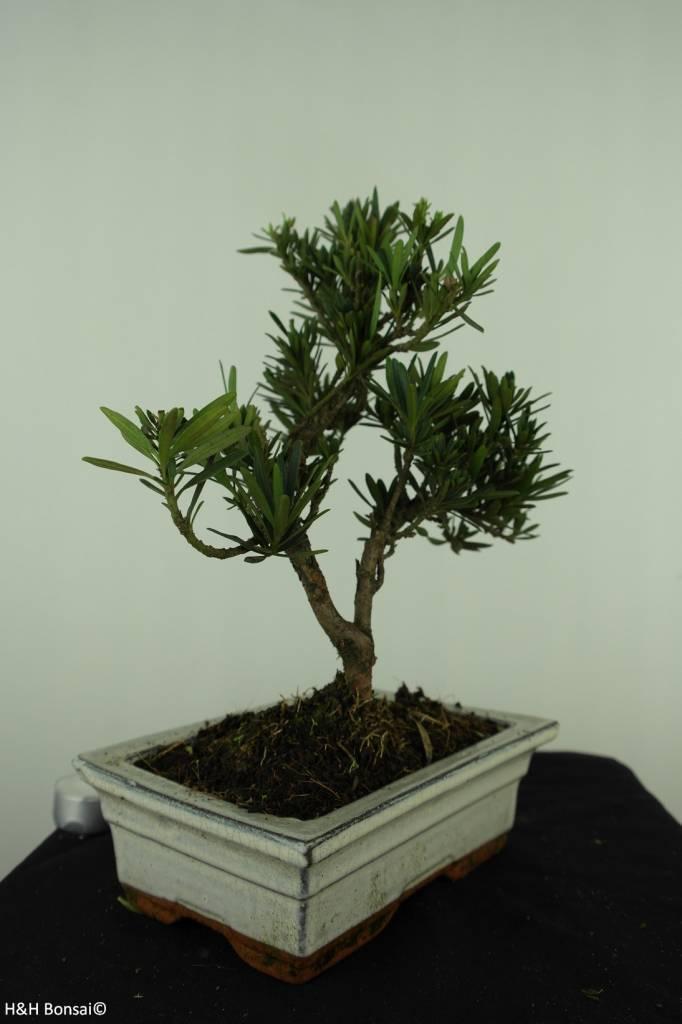 Bonsai Buddhist Pine, Podocarpus, no. 7417