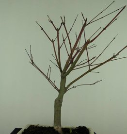 Bonsai Japanese Red Maple, Acer palmatum deshojo, no. 7422
