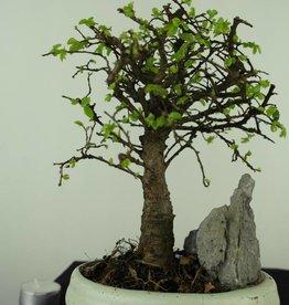 Bonsai Olmo cinese con roccia, Ulmus, no. 7428