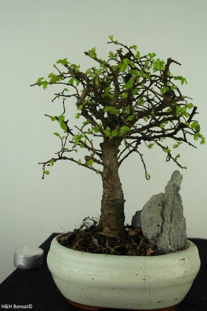 Bonsai Chinese Elm with rock, Ulmus, no. 7428
