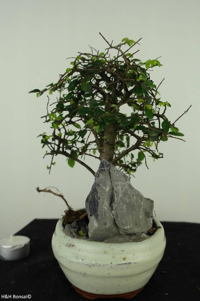 Bonsai Chinese Elm with rock, Ulmus, no. 7429