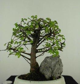 Bonsai Olmo cinese con roccia, Ulmus, no. 7430