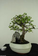 Bonsai Chinese Elm with rock, Ulmus, no. 7430