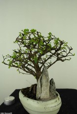Bonsai Chinese Elm with rock, Ulmus, no. 7433