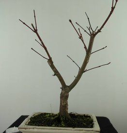 Bonsai Japanese Red Maple, Acer palmatum deshojo, no. 7464