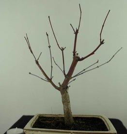 Bonsai Japanese Red Maple, Acer palmatum deshojo, no. 7467