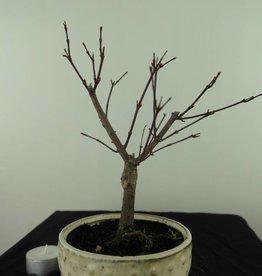 Bonsai Acero deshojo, Acer palmatum deshojo, no. 7471