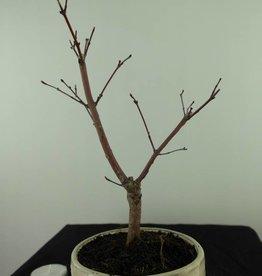 Bonsai Japanese Red Maple, Acer palmatum deshojo, no. 7475