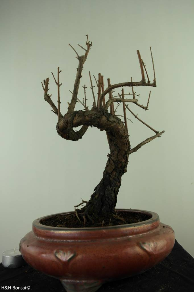 Bonsai Metasequoia, no. 7481