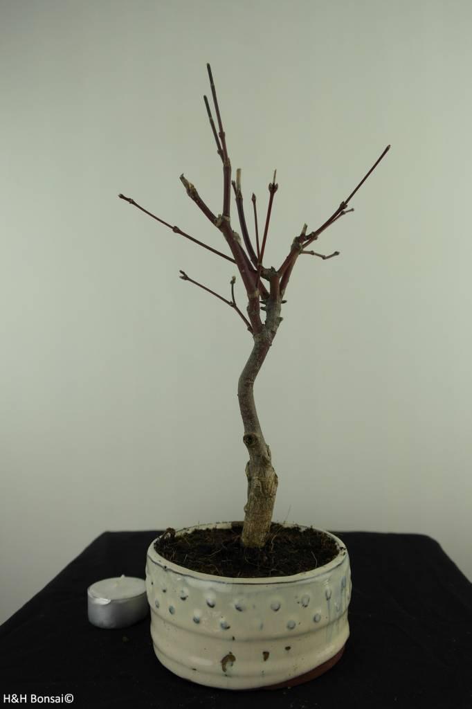 Bonsai Japanese Maple, Acer palmatum Atropurpureum, no. 7488