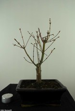 Bonsai Japanese Maple Batafurai, Butterfly, no. 7490