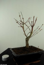 Bonsai Acero palmato Butterfly, no. 7491