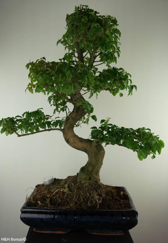 Bonsai Privet,Ligustrum nitida, no. 7497