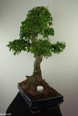 Bonsai Ligustro,Ligustrum nitida, no. 7499