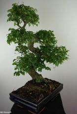 Bonsai Ligustro,Ligustrum nitida, no. 7500
