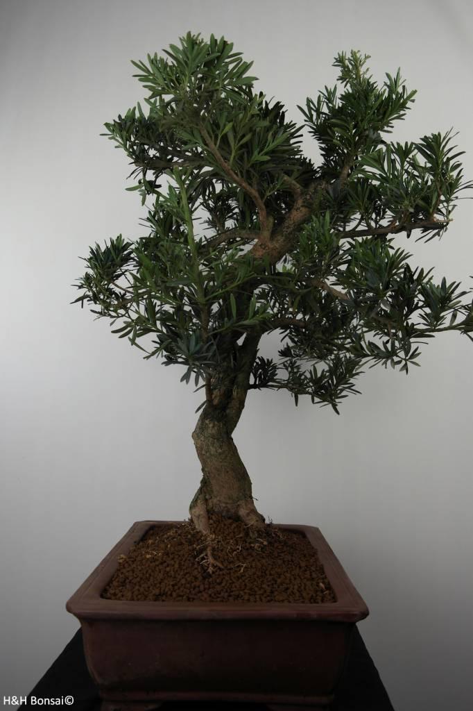 Bonsai Buddhist Pine, Podocarpus, no. 7501
