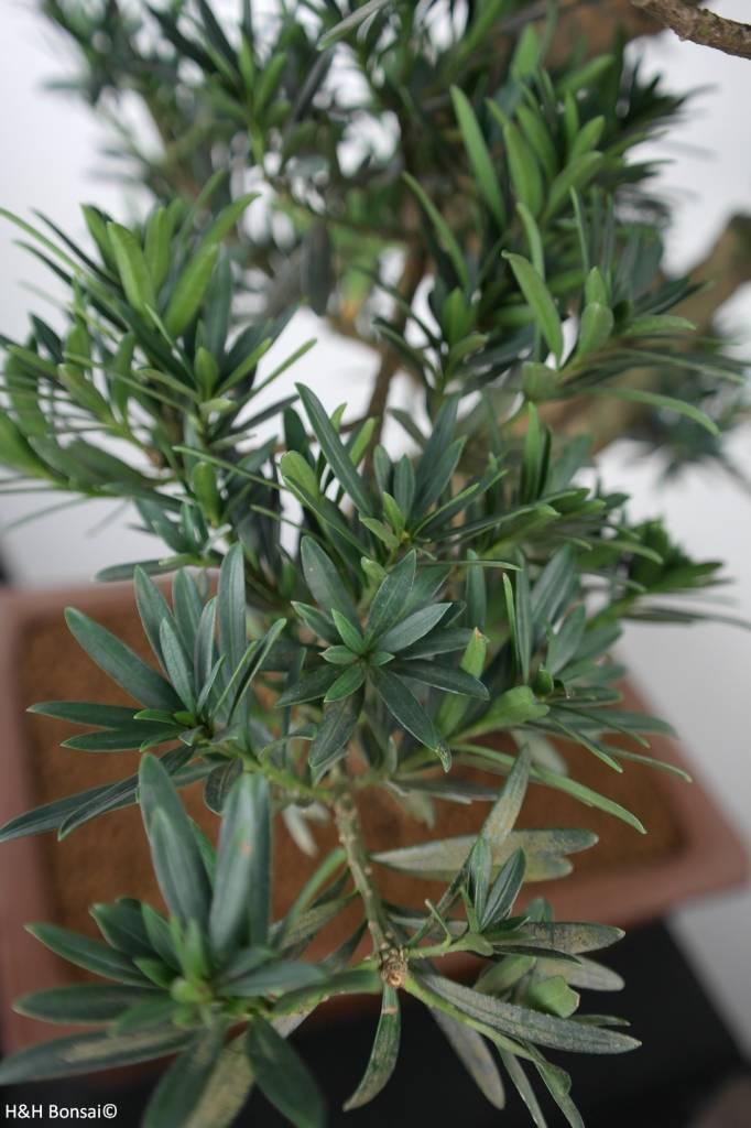 Bonsai di Podocarpo, Podocarpus, no. 7501