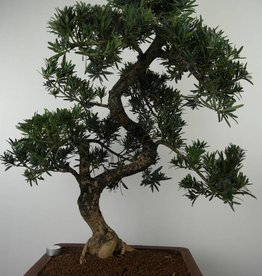 Bonsai Buddhist Pine, Podocarpus, no. 7502