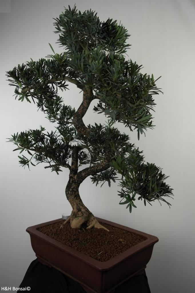 Bonsai di Podocarpo, Podocarpus, no. 7502