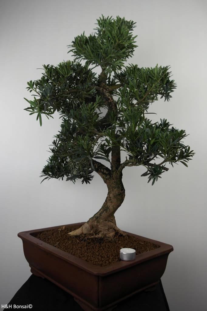 Bonsai Buddhist Pine, Podocarpus, no. 7502