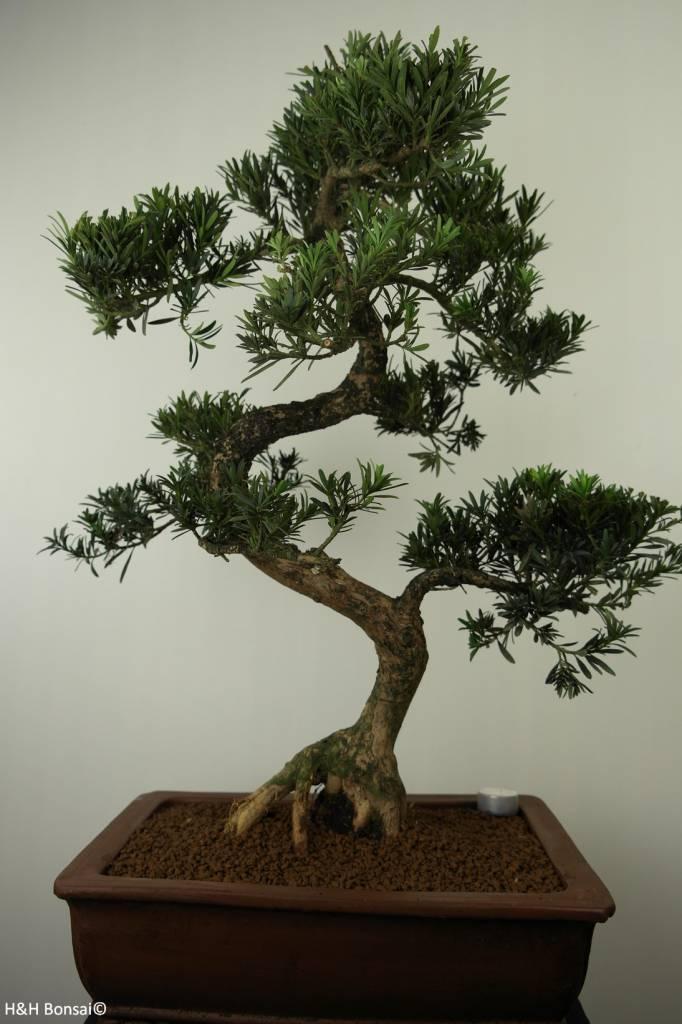 Bonsai di Podocarpo, Podocarpus, no. 7504