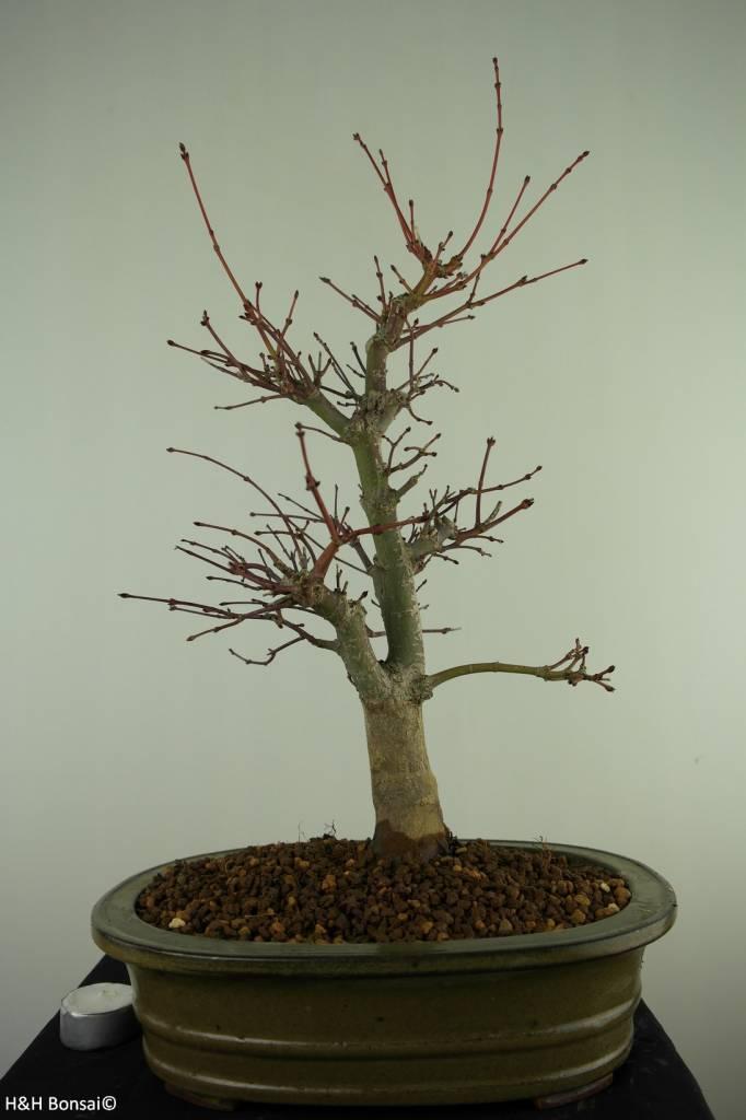 Bonsai Acero deshojo, Acer Palmatum deshojo, no. 7506