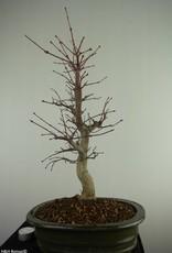 Bonsai Acero deshojo, Acer Palmatum deshojo, no. 7507