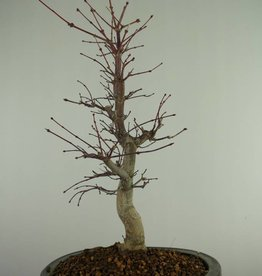 Bonsai Japanese Red Maple, Acer Palmatum deshojo, no. 7507
