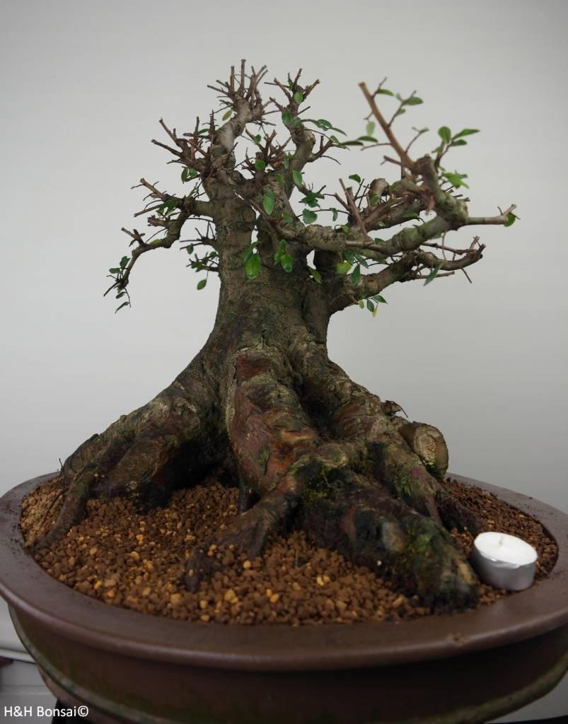 Bonsai Olmo cinese, Ulmus, no. 7509