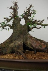 Bonsai Chinese Elm, Ulmus, no. 7509